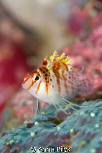 Coral Hawkfish
